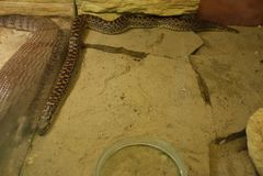 Långt ligga för orm som ut sträcks på ett stengolv och bak ett exponeringsglas en stor ödla, ligger exakt i den samma positionen royaltyfria bilder