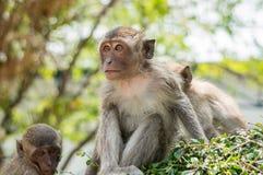 Långt tailed Macaquesammanträde på busken Arkivbild