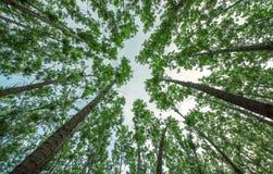 Långt träd i skogen Royaltyfria Foton