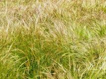 Långt tunt gräs som blåser i vinden royaltyfri foto