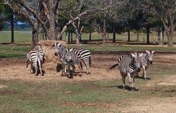 Låns Zibras på matning Tid arkivbild