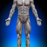 Lår - anatomimuskler Royaltyfri Fotografi