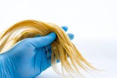 Lås av hår i hand av hudspecialisten eller trichologisten, bärande handske på vit bakgrund Diagnos av hår på skada och prepari arkivfoton