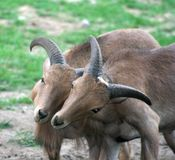 Låsa Horns Royaltyfri Fotografi