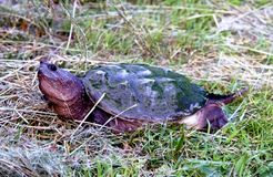 låsande fast sköldpadda Arkivbild