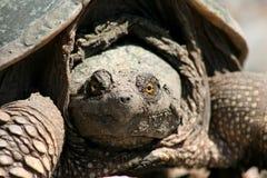 låsande fast sköldpadda 2 Arkivbild