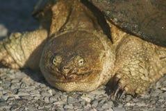 låsande fast sköldpadda Royaltyfri Foto