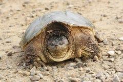 låsande fast sköldpadda Arkivfoto