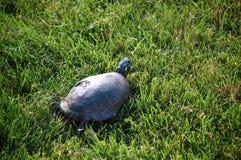 Låsande fast sköldpadda   Arkivfoton