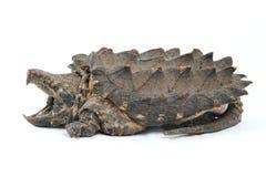 låsande fast sköldpadda för alligator Arkivbilder