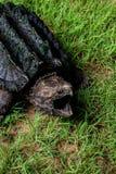 Låsande fast sköldpadda för alligator Fotografering för Bildbyråer