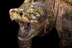 Låsande fast sköldpadda för alligator (den Macrochelys temminckiien) royaltyfri foto