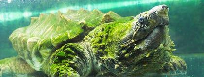 Låsande fast sköldpadda för alligator i ett akvarium Arkivfoto