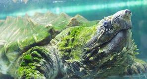 Låsande fast sköldpadda för alligator i ett akvarium Royaltyfri Fotografi