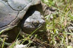 Låsande fast sköldpadda för alligator - Macrochelys temminckii Royaltyfria Foton