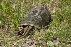 Låsande fast sköldpadda för alligator - Macrochelys temminckii Royaltyfria Bilder