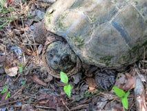 Låsande fast sköldpadda för alligator - Macrochelys temminckii Arkivbilder