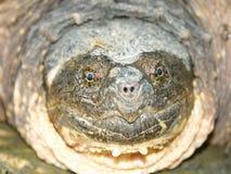 låsande fast sköldpadda för chelydraserpentina Arkivbild
