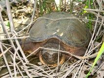 låsande fast sköldpadda för chelydraserpentina Royaltyfri Foto