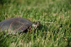 Låsande fast sköldpadda i gräs Arkivfoto