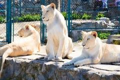 Låsta lejon arkivbilder