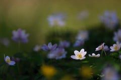 Låt det ljusa skenet på mig! Solbelyst wood anemon royaltyfria bilder