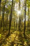 låter vara den ljusa färgskogen för hösten solljus Royaltyfri Foto