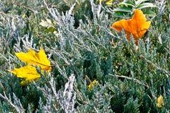 låter vara fallen barrträds- down för buskar lönn Royaltyfria Bilder