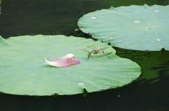 låter vara lotusblomma Royaltyfri Bild