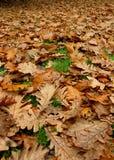 låter vara oaken Royaltyfria Foton