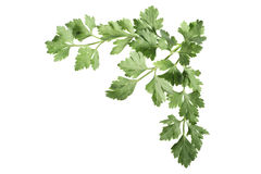 låter vara parsley Arkivfoto