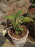 låter vara stor ljus tät green för bananen upp treen royaltyfria bilder