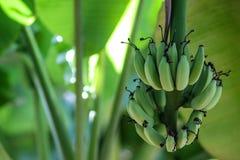 låter vara stor ljus tät green för bananen upp treen Royaltyfri Bild