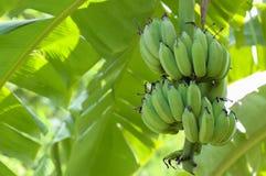 låter vara stor ljus tät green för bananen upp treen fotografering för bildbyråer