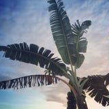 låter vara stor ljus tät green för bananen upp treen royaltyfri foto