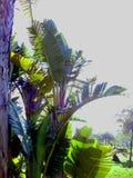 låter vara stor ljus tät green för bananen upp treen Royaltyfri Fotografi