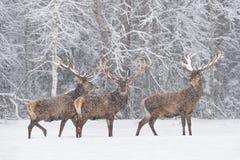 Låtet det att snöa: För fullvuxen hankronhjortCervidae för tre Snö-täckt röda hjortar ställning på utkanten av ForestThree den no arkivfoton