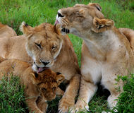Lèchement des lions Image stock