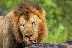 lèchement du lion Photo stock
