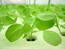 Légume, culture hydroponique Photos libres de droits