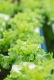 Légume de culture hydroponique photo stock