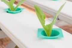 Légume de culture hydroponique Image stock
