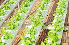 Légume de culture hydroponique dans la crèche Photo stock