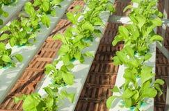 Légume de culture hydroponique dans la crèche Photos libres de droits