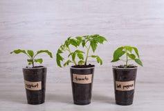 Légume de jeunes plantes : aubergine, tomate et paprika en plastique Image stock