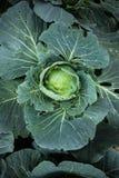 Légume de vert d'usine de chou Photos libres de droits