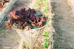 Légume-feuille frais cultivé dans le poteau en bambou comme cultivant Photographie stock
