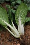 Légume frais Image libre de droits