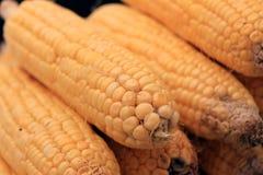 Légume frais de maïs Rangée d'épi de maïs Photographie stock libre de droits