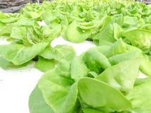 Légume hydroponique Photo stock